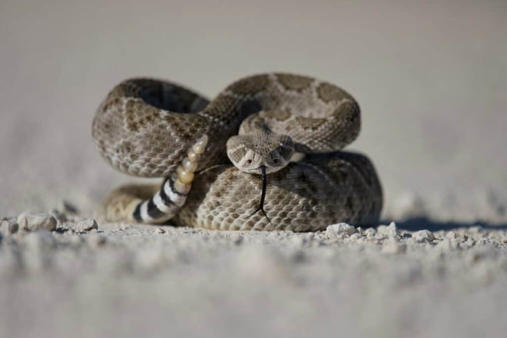 A coiled poisonous snake in a ready to strike position.