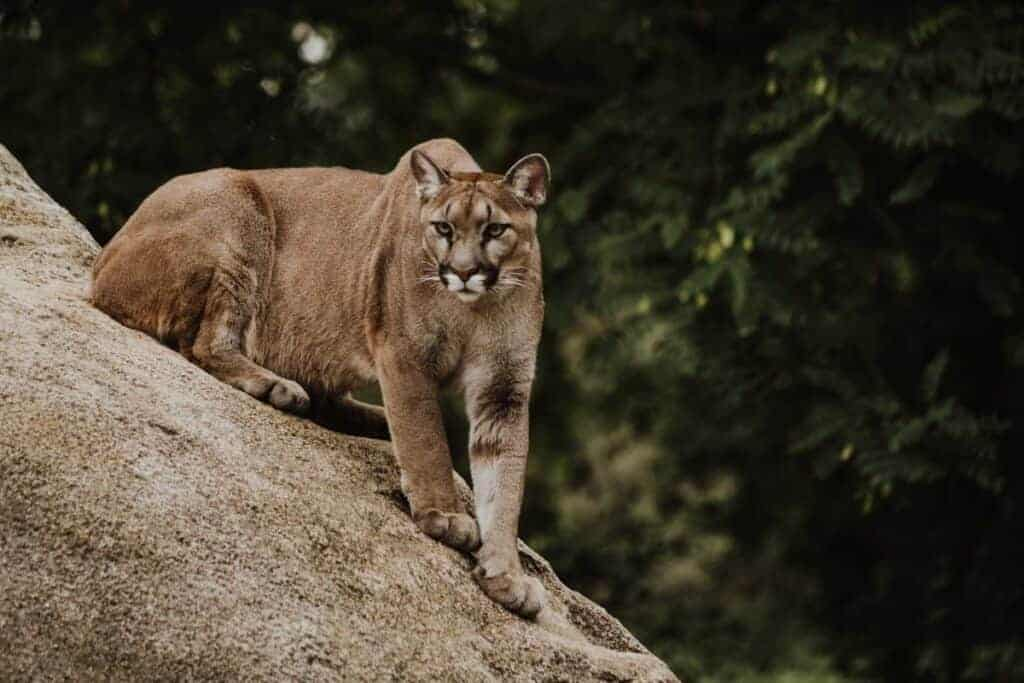 Mountain lion ready to pounce and attack